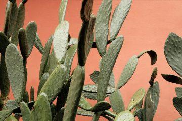 kaktusfeigen oel hautpflege