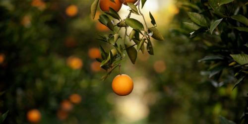 orangenbluetenwasser