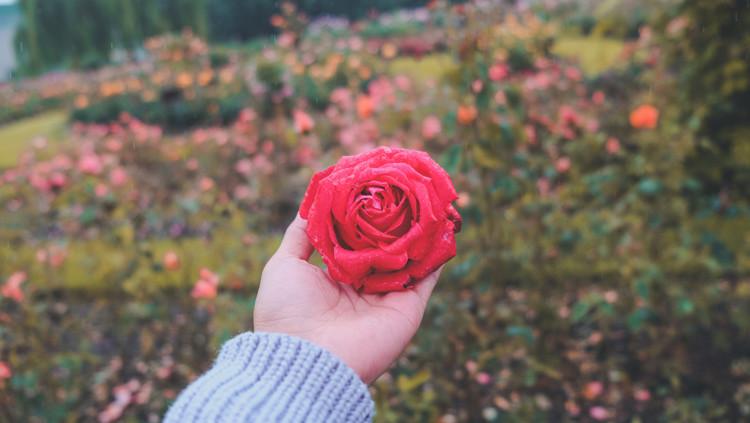 rosenoel pflege