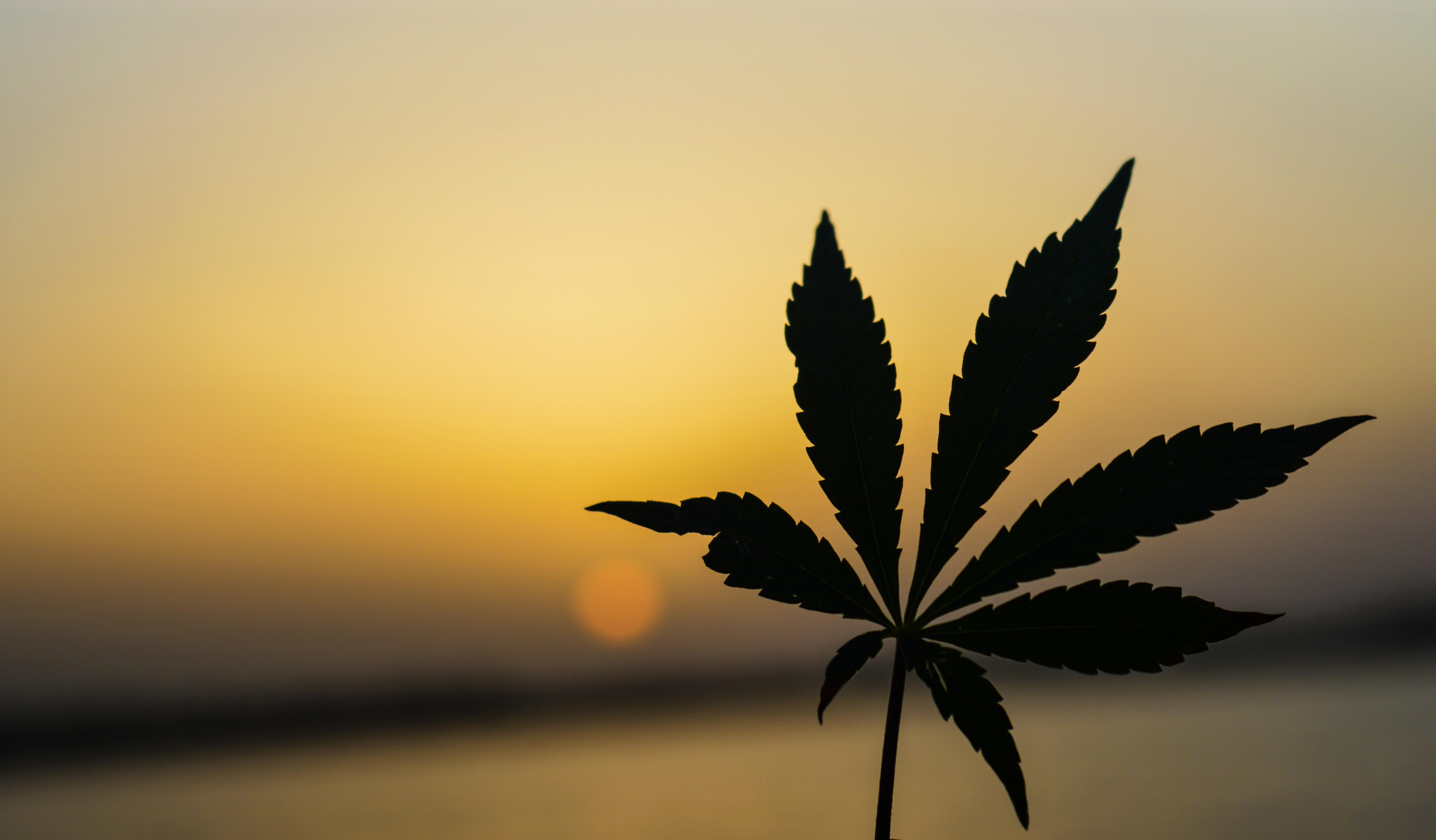 Hanfpflanze vor Sonnenuntergang
