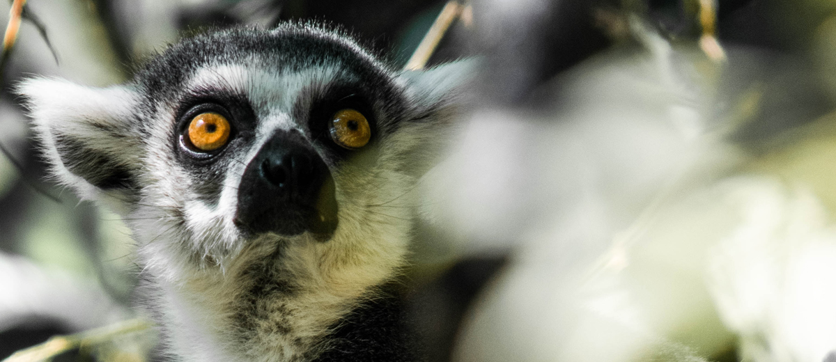 nahaufnahme eines lemuren