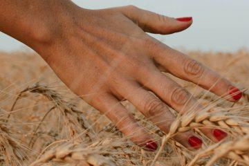 Hand mit rotem Nagellack streicht über Kornfeld