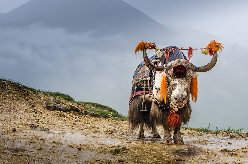 geschmücktes yak im himalaya