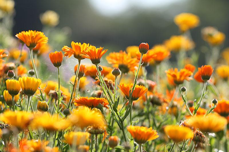 ringelblumen auf einer wiese